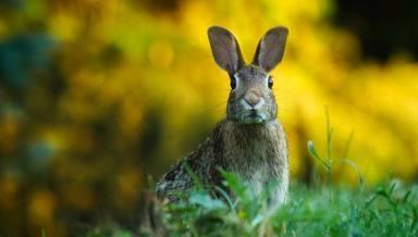 El conill, declarat en risc d'extinció a la península Ibèrica