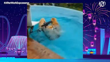 Así reacciona este perro en silla de ruedas al ver por primera vez una piscina