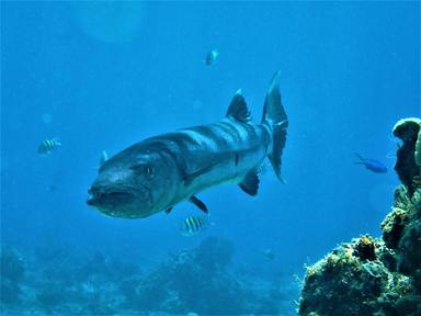 Alarma en Supervivientes: un concursante, en peligro al ser atacado por una barracuda mientras pescaba