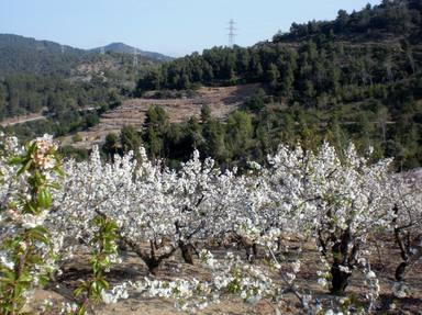 La Fiesta de la cereza: Sant Climent