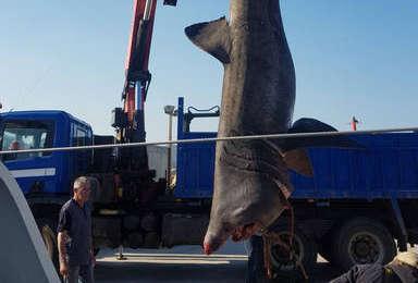Pesquen un tauró pelegrí de gairebé 7 metres a Tarragona i el tornen al mar