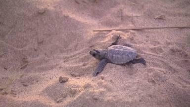 Neixen per primer cop tortugues babues a la platja de Castelldefels