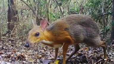 Reaparece 30 años después el 'ciervo ratón' que se creía extinguido