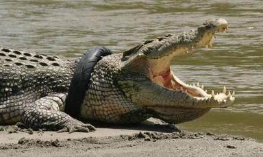 S'ofereix una recompensa per salvar a un cocodril atrapat en un pneumàtic