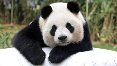 L'ós panda surt de la llista d'animals en perill d'extinció