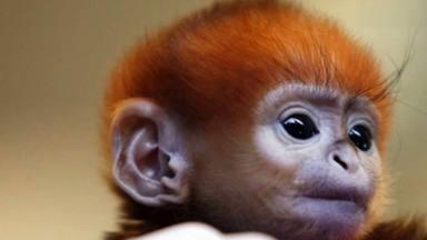Conoce la increíble historia del tierno mono que actualmente ha conquistado a todos en redes