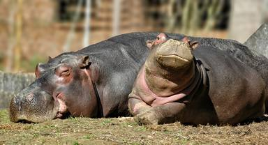 Així viuen avui els hipopòtams de Pablo Escobar