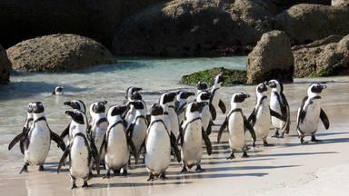 El pingüí africà, en perill d'extinció per culpa del turisme
