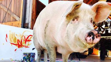 ¿Conoces a Pigcasso, la nueva cerdita artista?