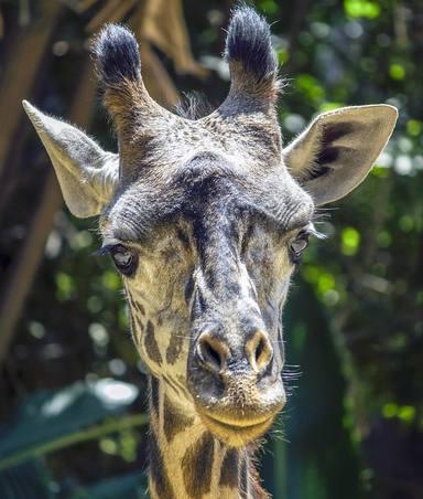 Ha nascut una girafa al Zoo de Barcelona