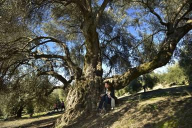 Grandes árboles de Jaén. El Acebuche de las Hoyas