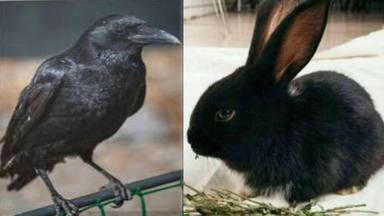 Cuervo o conejo