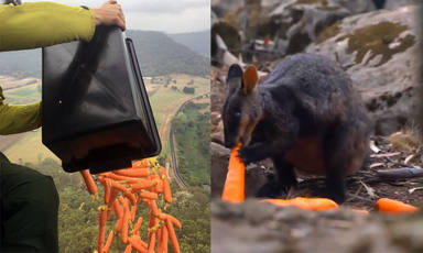 Helicòpters llancen verdures a Austràlia per alimentar els animals