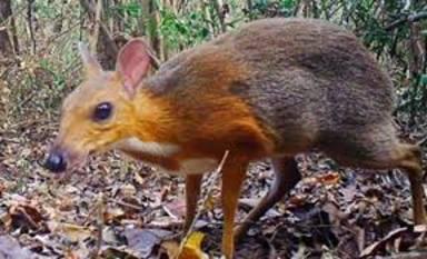 """Es fotografia un """"cérvol-ratolí"""", un animal que es creia extingit"""