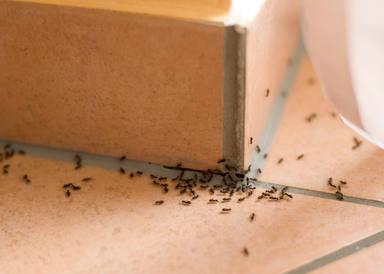 Eliminar hormigas en casa