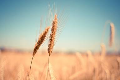 Les plugessalven la temporada del cereal
