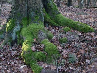 Agafar molsa del bosc per al pessebre... està prohibit!