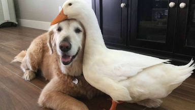 Perro y pato