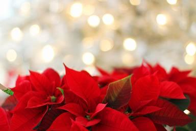 Trucs i consells per conservar la Flor de Pasqua més enllà de Nadal