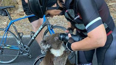 Un koala se acerca a una ciclista a pedirle agua y se convierte en viral