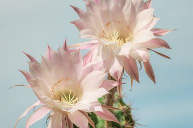 Quins són els cactus més bonics i fàcils de cuidar?