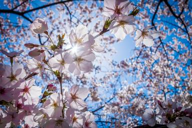 Comienza el espectáculo de la floración del cerezo en Torres