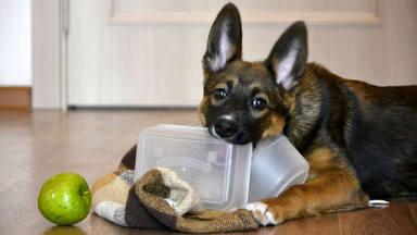 La importante razón por la que los perros muerden los muebles de casa