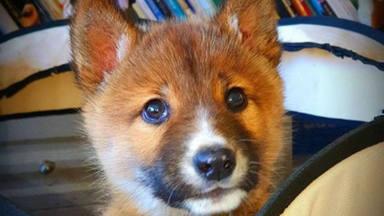 Wandi, el ''perrito'' australiano abandonado, da la sorpresa con los llamativos resultados en su prueba de ADN