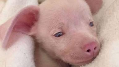La emotiva historia de Piglet, un perro sordociego que tuvo una segunda oportunidad y ahora triunfa en la red