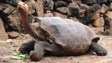 Diego, la tortuga que ha salvat a la seva espècie, torna a casa